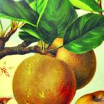 Grafika owoców na gałęzi