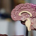 makieta mózgu