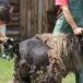 zdjęcie golenia owcy